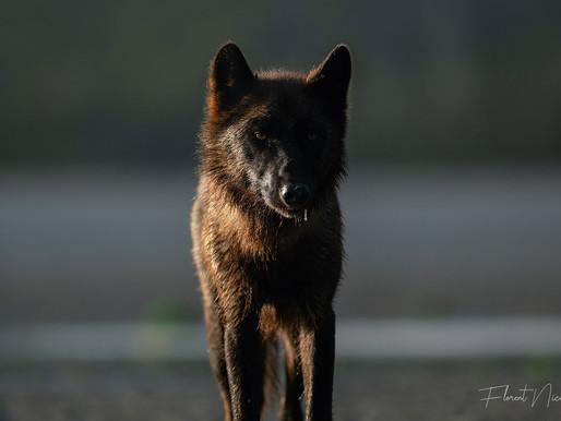 Loup côtier du territoire Tsimshian
