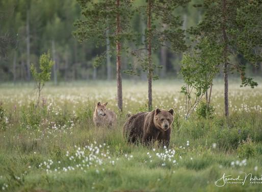 L'effarouchement des grands prédateurs