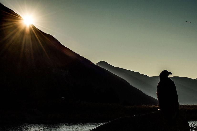 Pygargue à tête blanche - Alaska