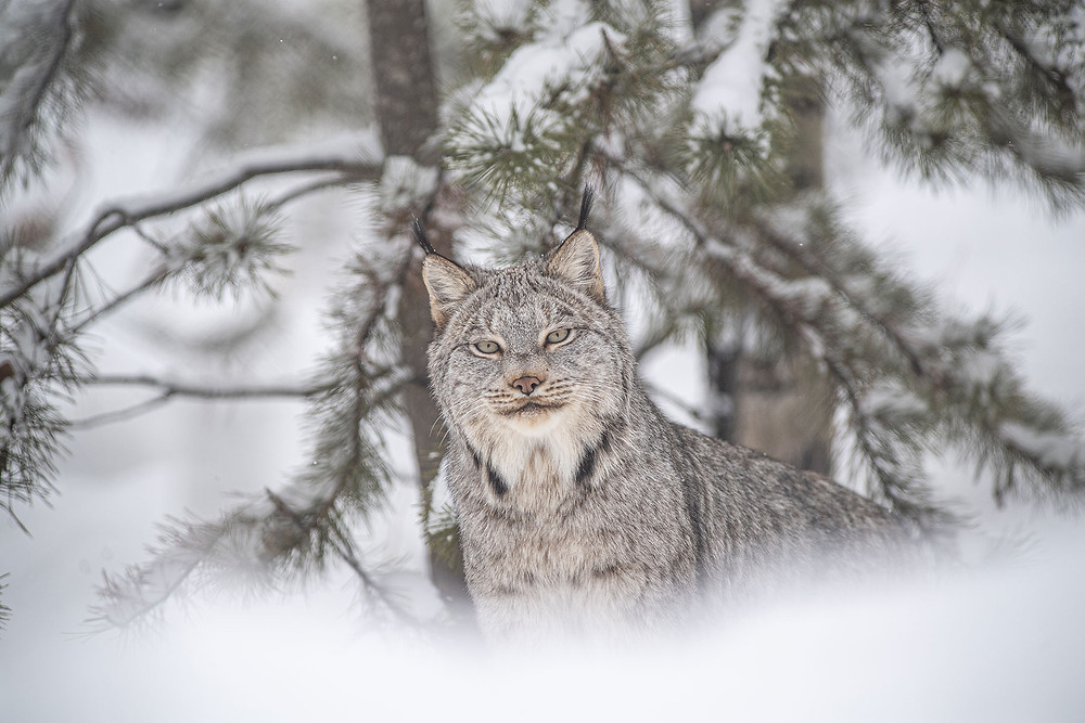 Selon les données du gouvernement du Québec, environ 2500 lynx du Canada sont piégés chaque année rien que dans cette province.