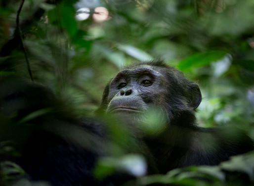 Sur la trace des chimpanzés