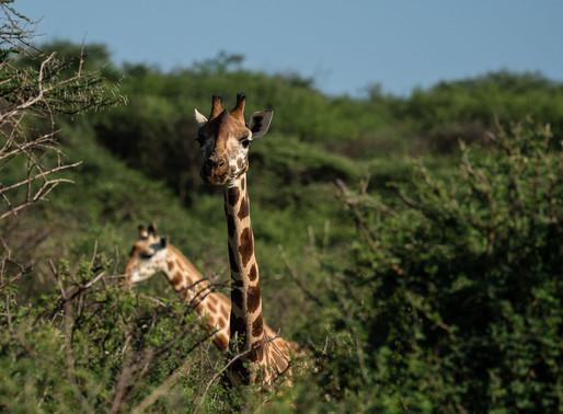Les Girafes de ROTHSCHILD du lac Baringo - Kenya