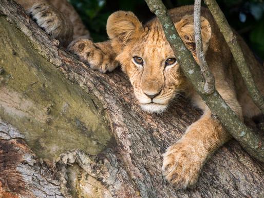 Quels espoirs pour le lion ?