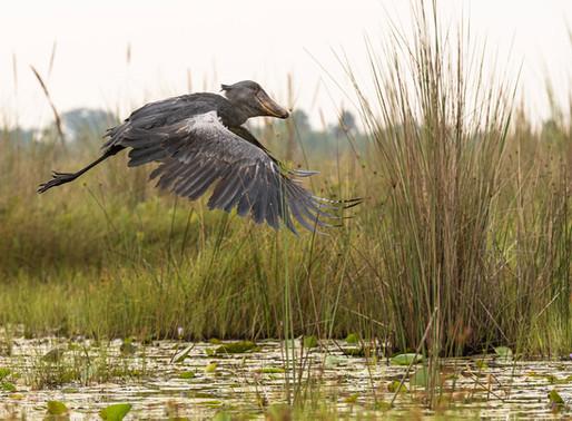 Le bec en sabot du Nil ou « le drôle d'oiseau »