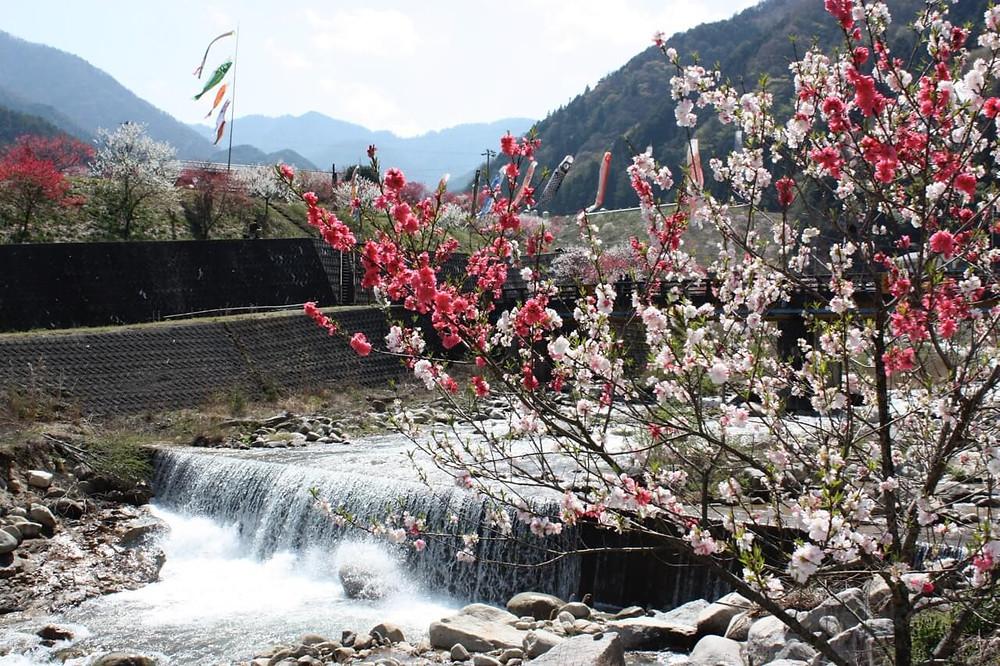 園原の花桃祭り2009年