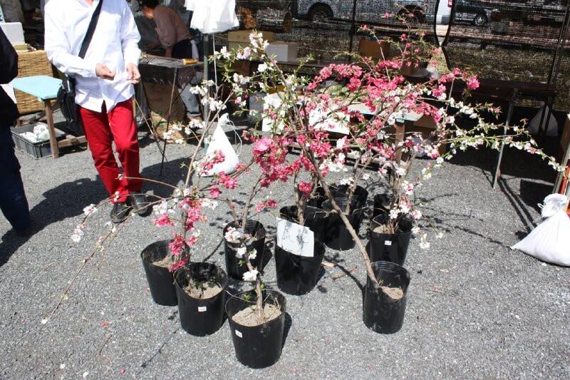 花桃の苗の販売