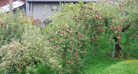 10月のりんご園