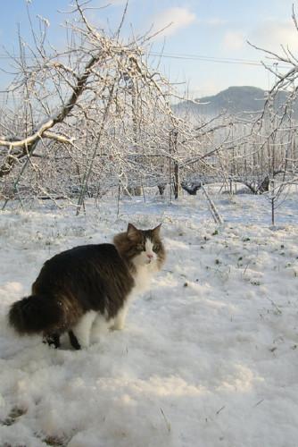 1月のりんご園と雪の中の猫