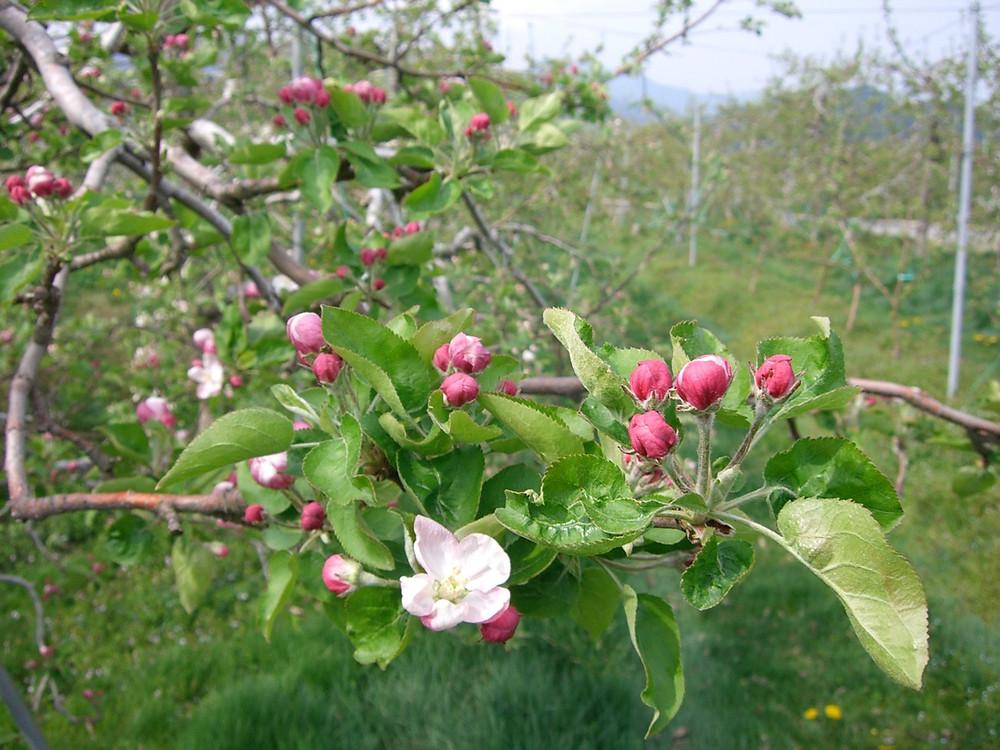 りんごの花 陽光