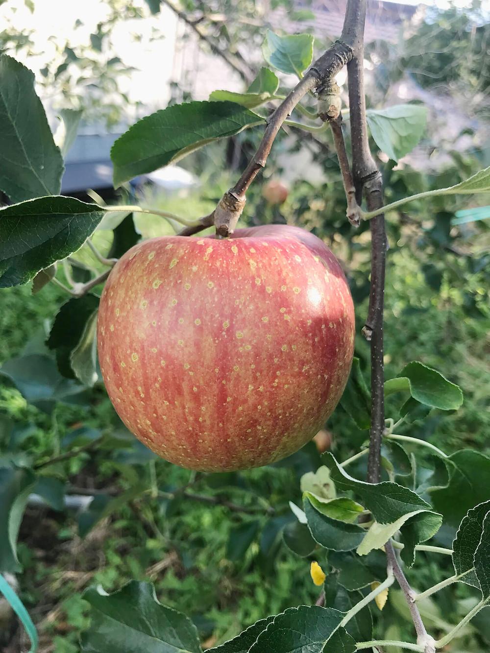 完熟林檎の「つがる」です。