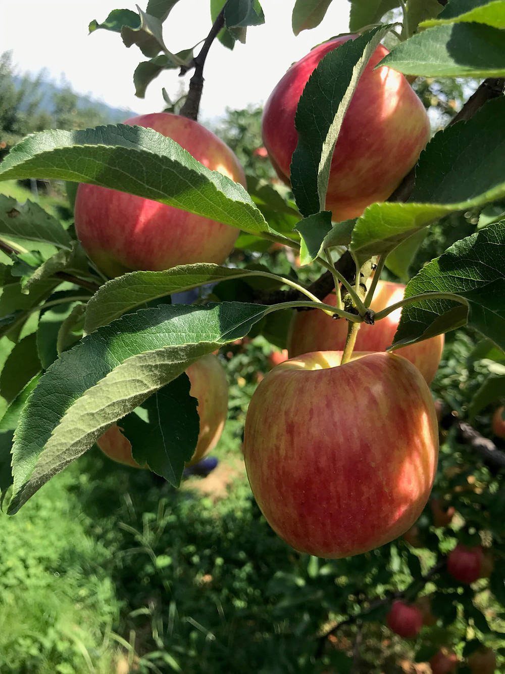 食べ頃の林檎「シナノドルチェ」です