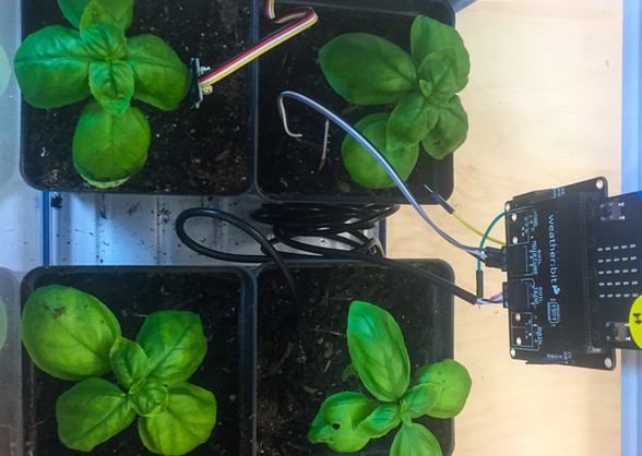 Small Basil Plants