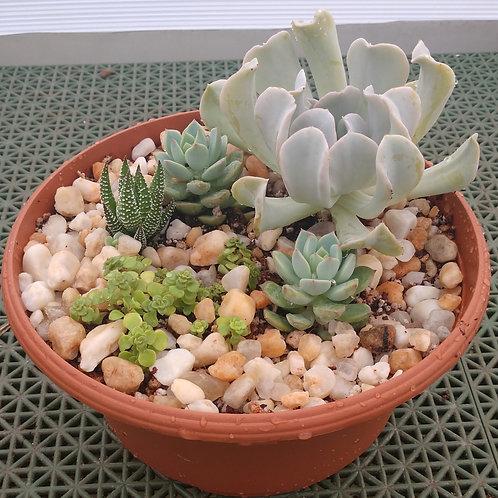 Succulent Bowl 1