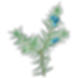 hydrolat-genevrier-bio.jpg.png