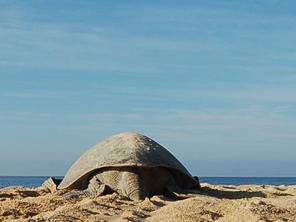 2a Reunión Internacional sobre Tortugas Marinas del Pacifico Oriental Tropical