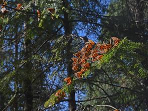 El 28 de noviembre abrirán al turismo santuarios de la Mariposa Monarca