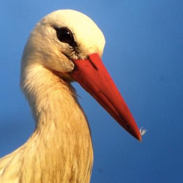 Saison 2 - Baie de Somme - Cigogne blanche