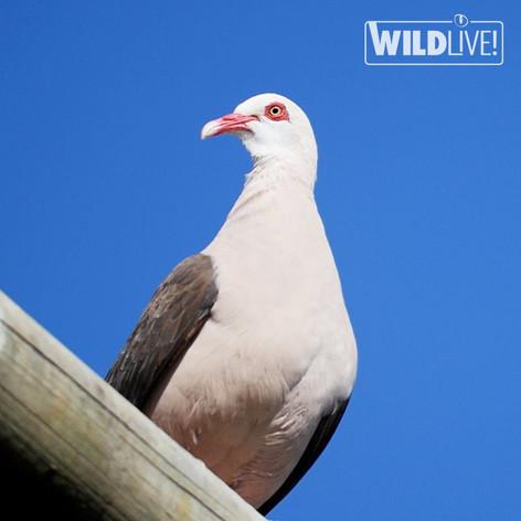 Saison 1 - Ile Maurice - Le pigeon des mares ou pigeon Rose de l'Ile Maurice