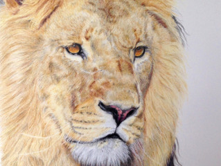 Lion portrait finished
