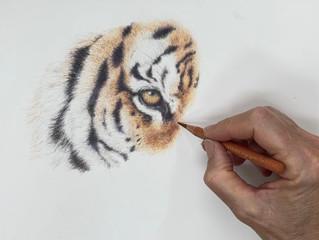 Tiger tutorial in coloured pencil