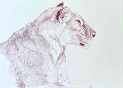 Kate-Jenvey-lioness-pencil.JPG