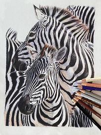 Kate-Jenvey-coloured-pencil-zebras.jpg