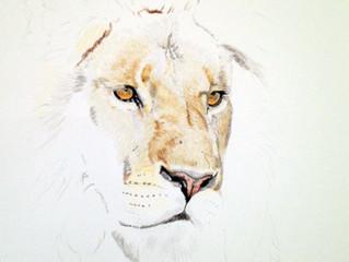 Lion in colour pencil