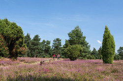 Lüneburger Heide, Heideflächen