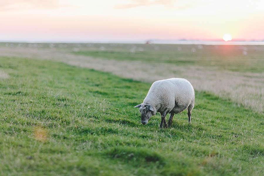 Deich, Schaf, Nordsee, Sonnenuntergang, Nordfriesland, Nordseecamping zum Seehund