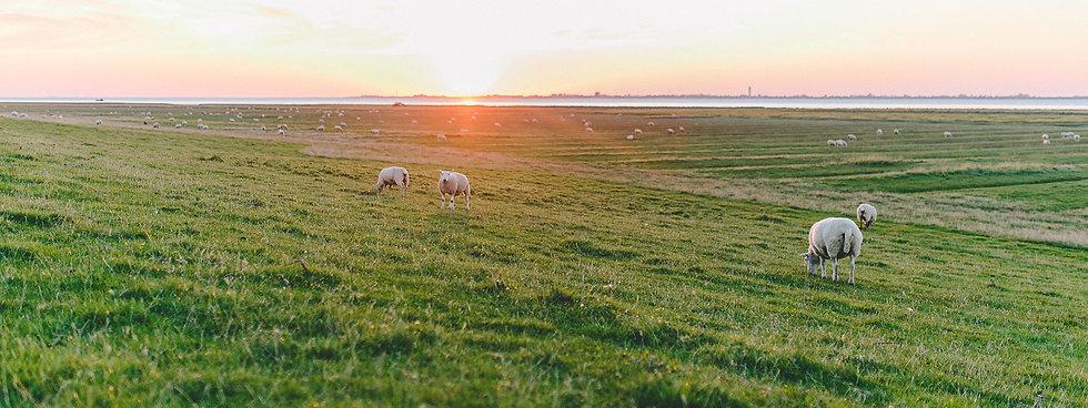 Nordsee, Deich, Schafe, Simonsberg, Nordseecamping zum Seehund