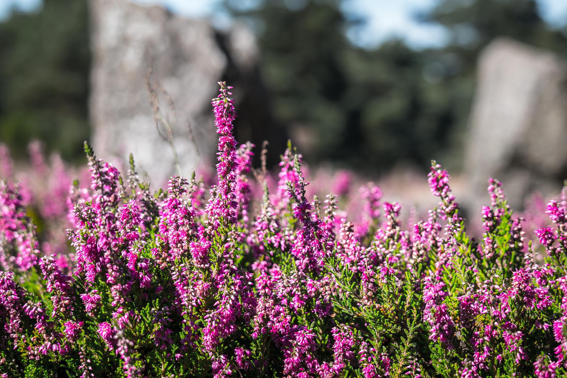 Naturpark Südheide, Heideblüte