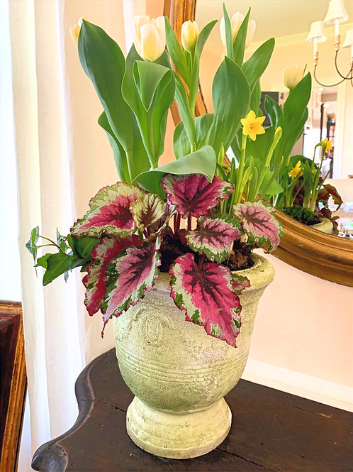 """Tete Daffodils, Blush tulips, Begonia, and Ivy in a """"Faux French Stone Urn"""""""