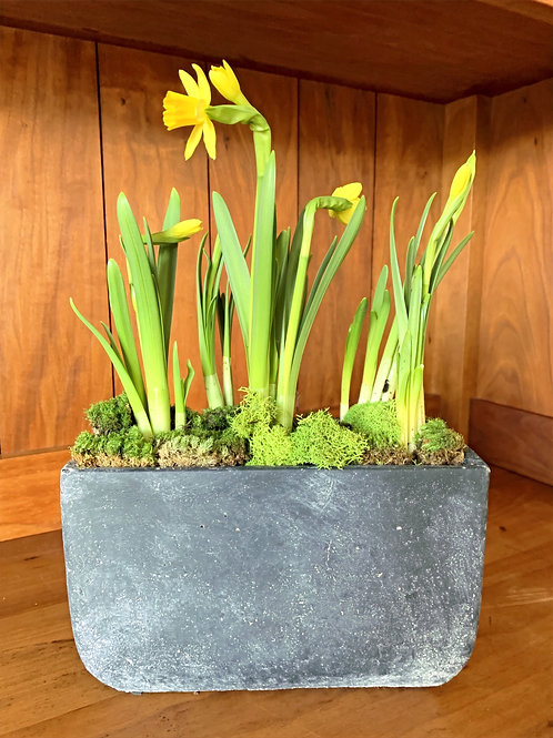 Faux Cement Pot with Tete Daffodils and Moss