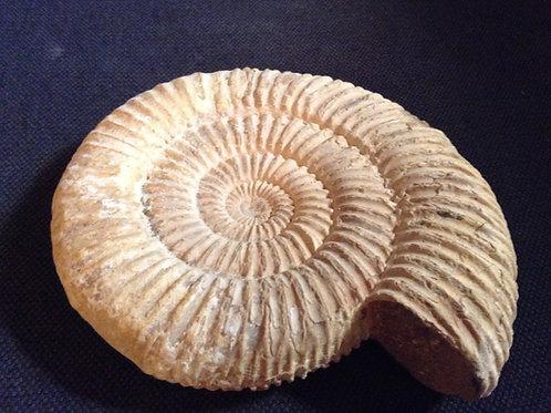 Ammonite Périsphinctes - Madagascar