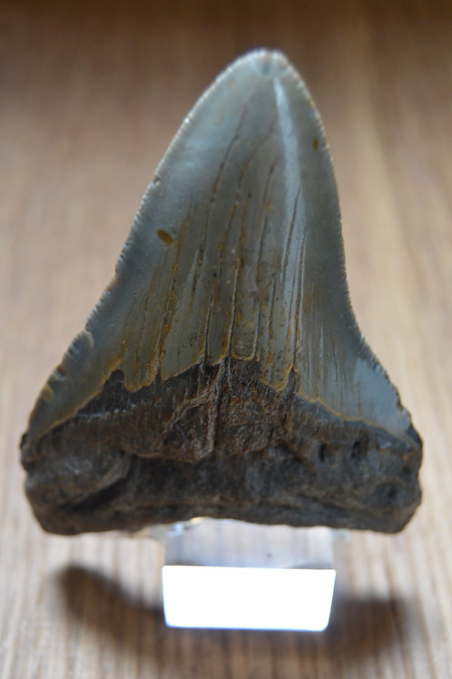 Mégalodon Lithophile Gard