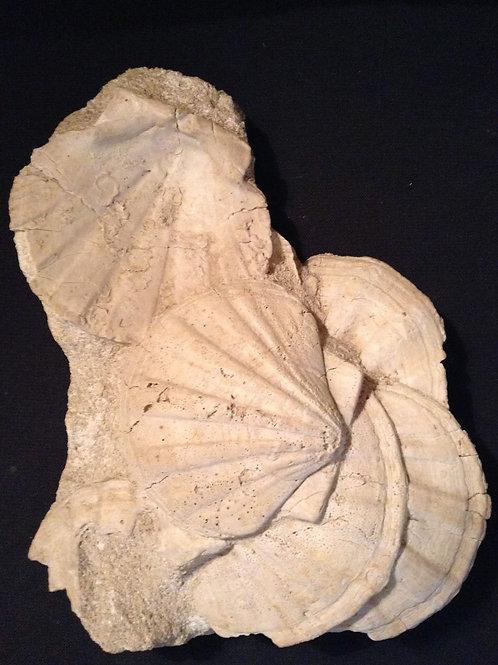 Fossile Pecten Lithophile Gard