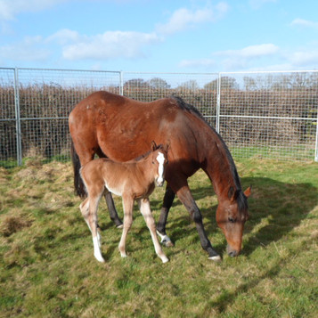 Albie (foal) with mother Dualagi.jpg