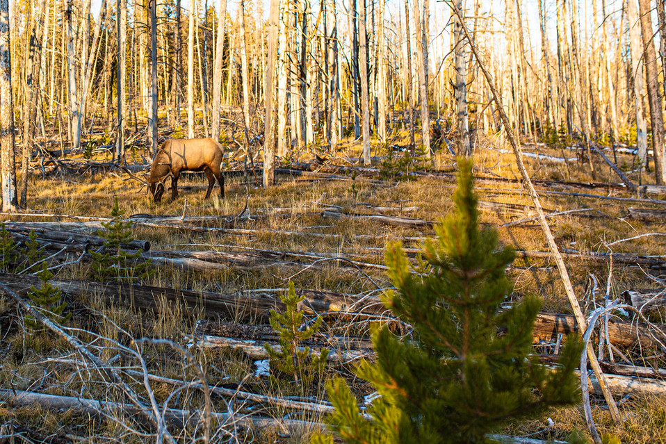 West Thumb Elk Run