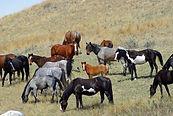 feral-horses-861684__480.jpg