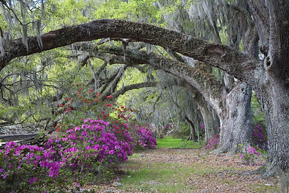 South Carolina_Azaleas.jpeg