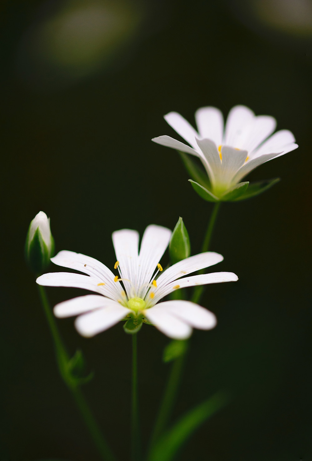 a white flower symbolizing virginity.