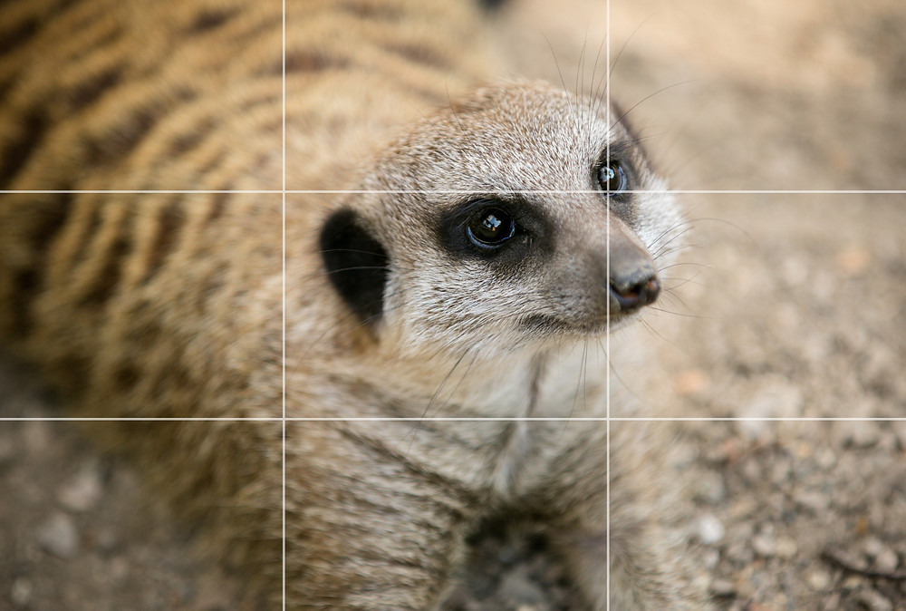 Rule of thirds - meerkat example