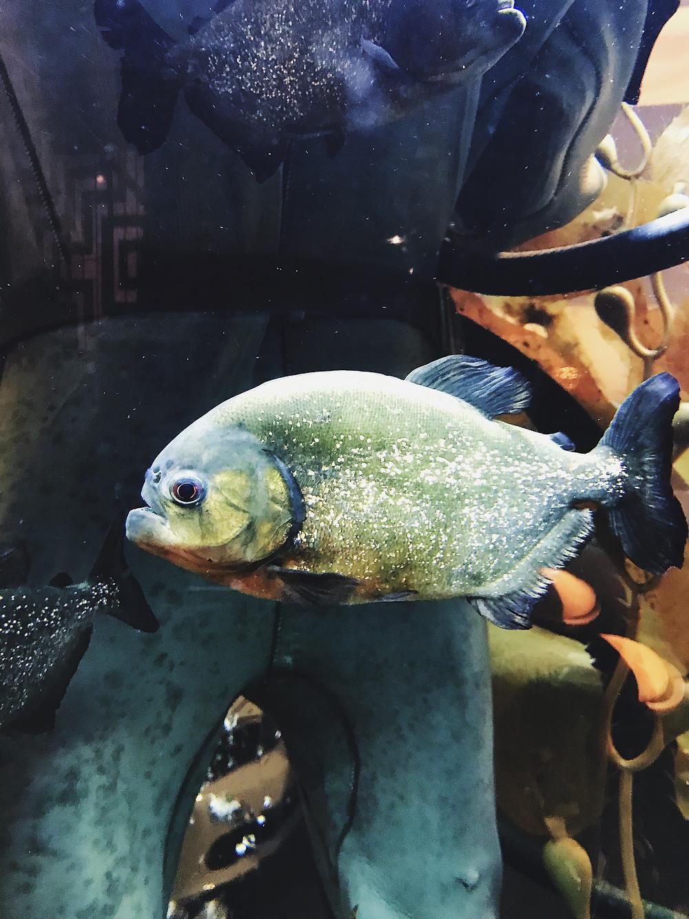 gough's on gough | piranha