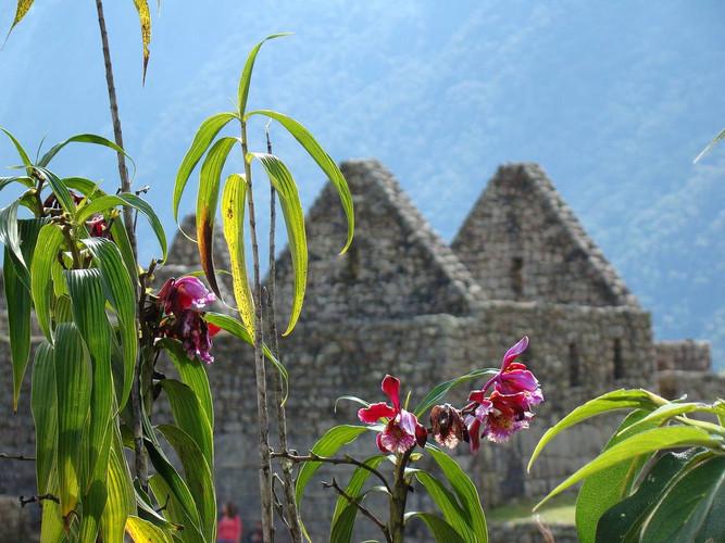Flora in Machu Picchu