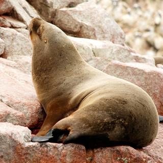 Zeeleeuw Paracas