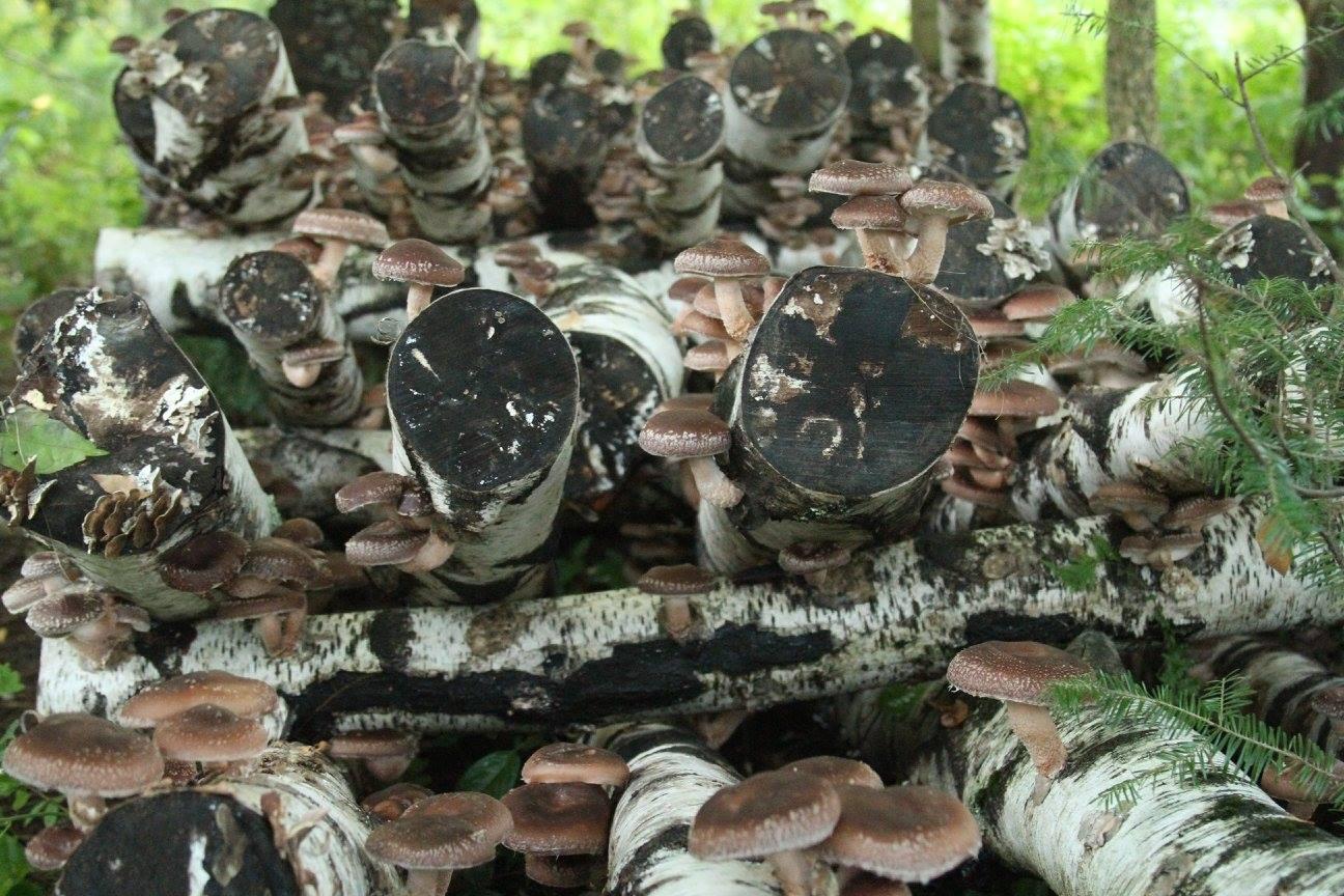 abondance shiitake