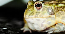Grenouille%20batracien%20Depositphotos_325302630_xl-2015_edited.jpg