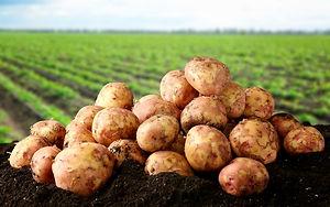 Pommes de terre locales.jpg