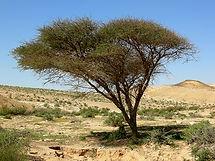 Acacia-Wikipedia - KO.JPG