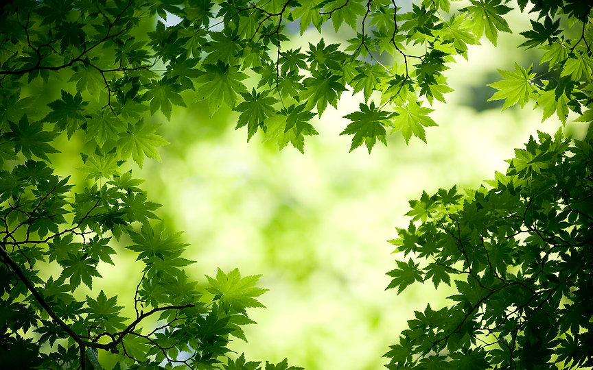 green_maple_leaves-wide.jpg
